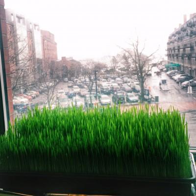 Growing Wheatgrass in the Window